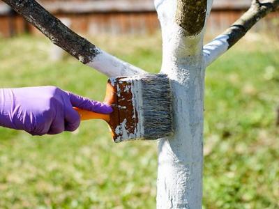 Відео: Найкращий спосіб побілки дерев весною та осінню