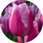 Тюльпани Ранні