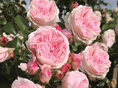Кращі сорти чайно-гібридних троянд каталогу 2020