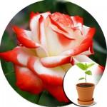 Саджанці троянд в горщиках  (29)