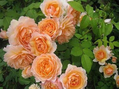 Чим відрізняються троянди флорібунда від чайно-гібридних