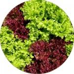 Насіння салату (28)
