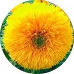 Насіння соняшника (12)