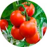 Насіння помідорів та томатів (50)