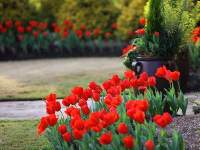 Як красиво посадити тюльпани в саду або на дачі