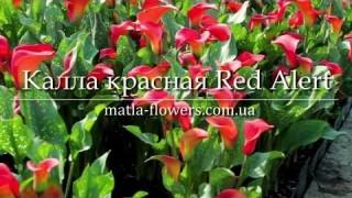 Калла красная Red Alert