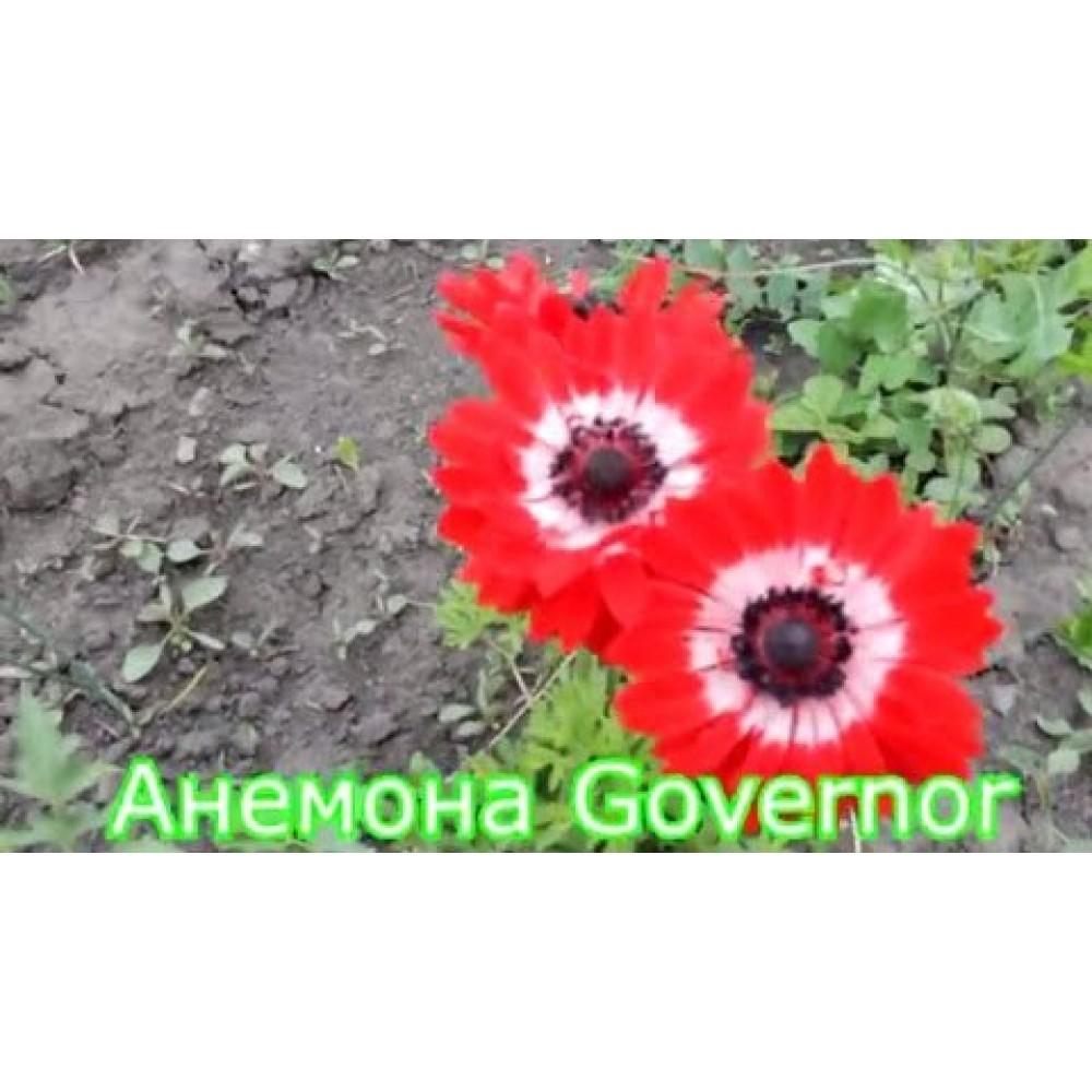 Анемона Governor