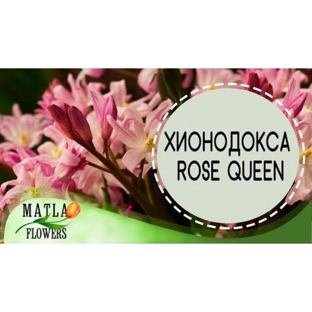 Хионодокса Rose Queen