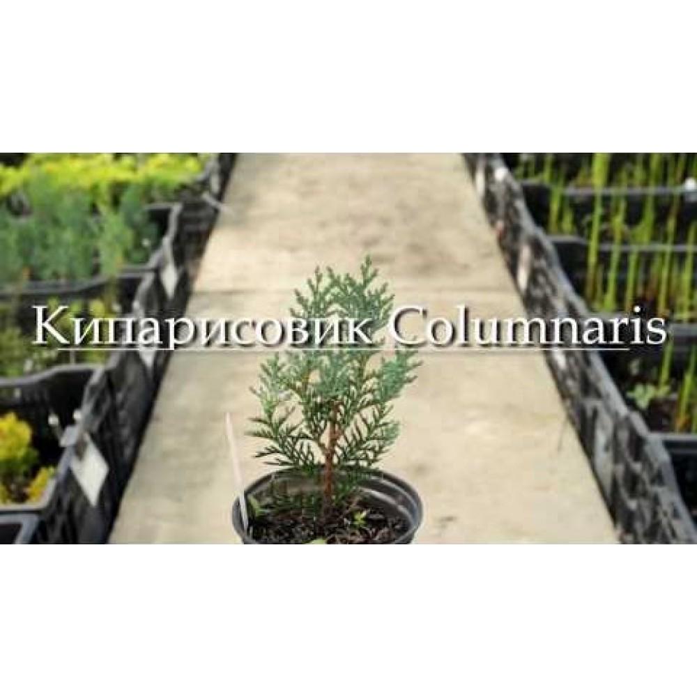 Кипарисовик Лавсона Columnaris (саджанець)