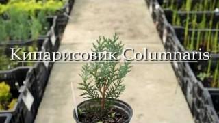 Кипарисовик Columnaris