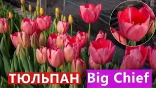 Тюльпан Big Chief (Біг Чіф)
