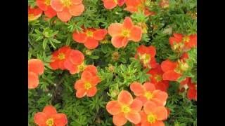 Лапчатка Hopleys Orange