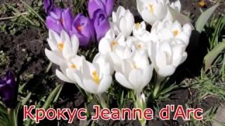 Крокус Jeanne d'Arc