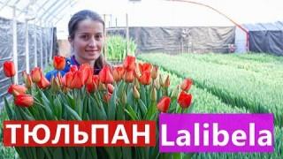 Тюльпан Lalibela (Лалібела)