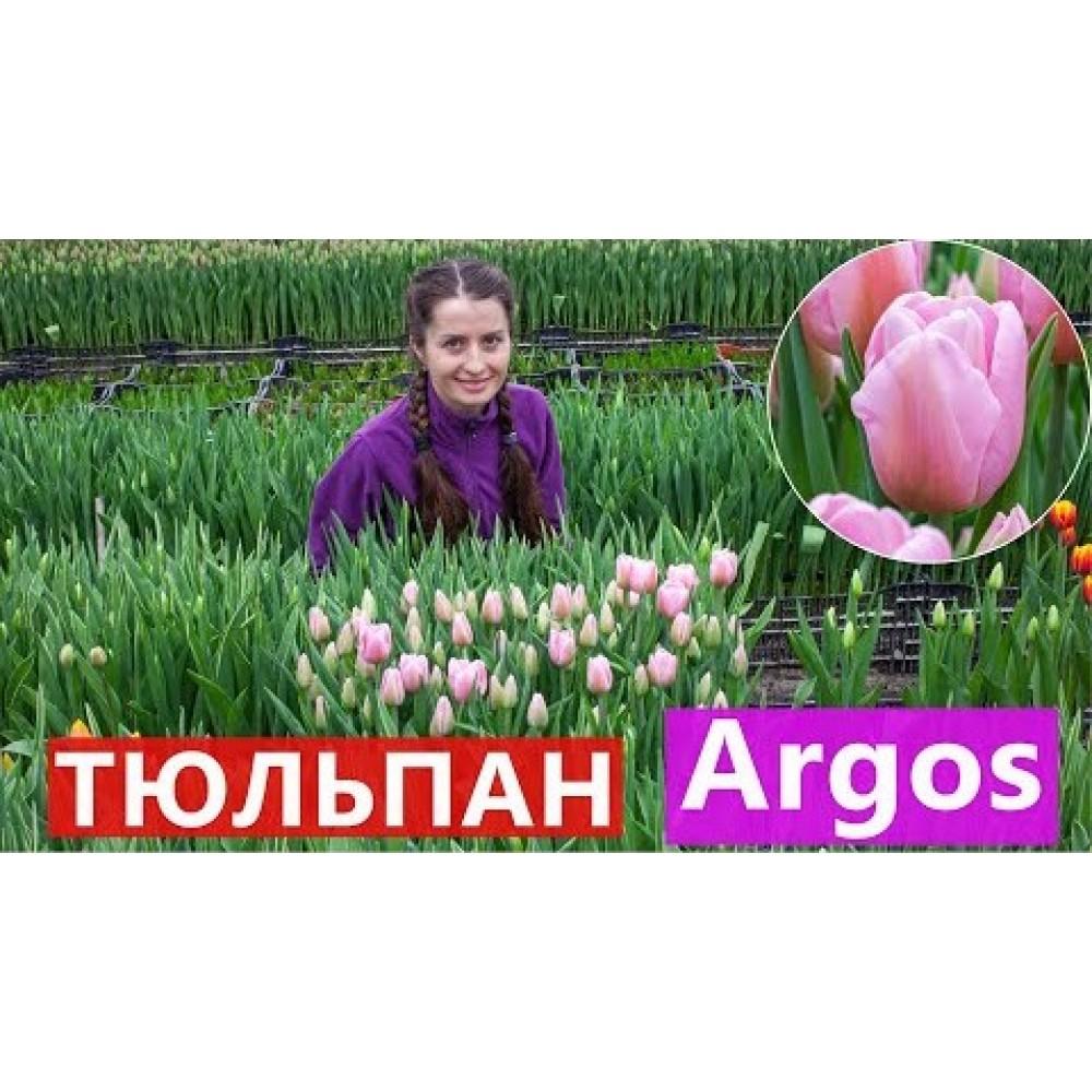 Тюльпан Argos 11/12