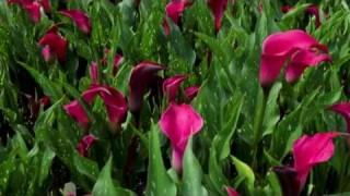 Калла розовая Pink Pearl