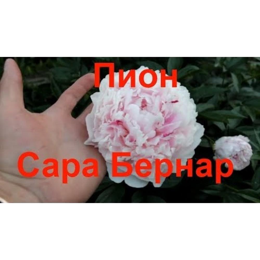 Півонія Sarah Bernhardt (саджанець)