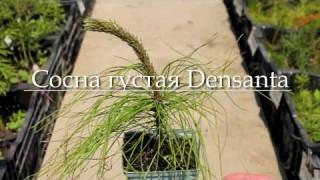 Сосна густая Densanta