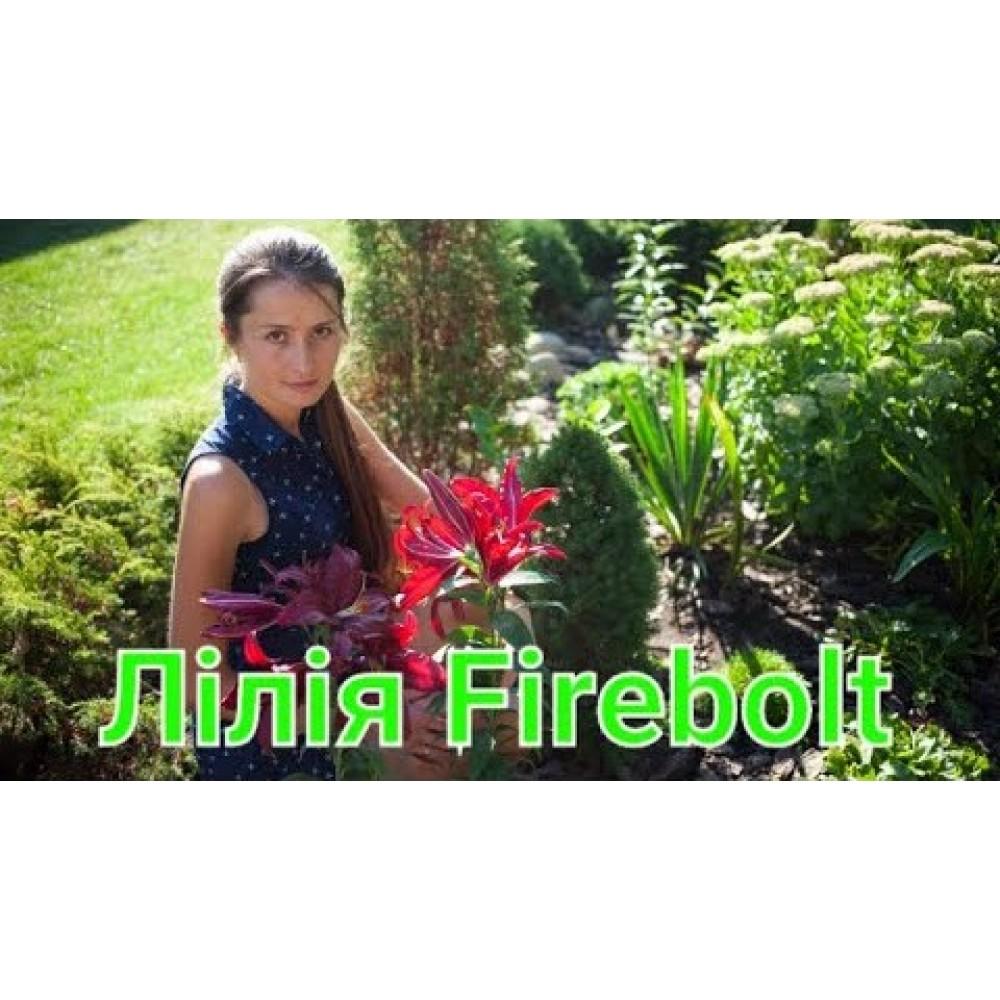 Лілія в горщику Firebolt