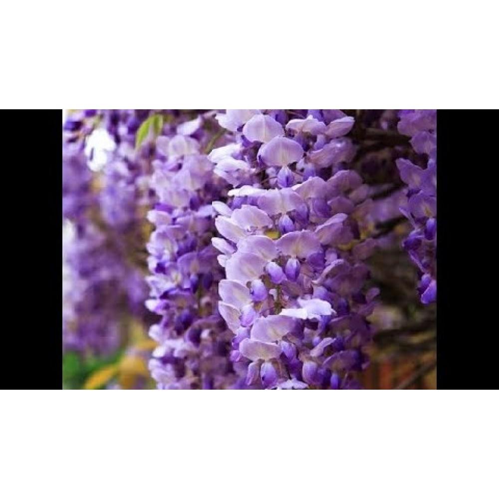 Гліцинія Фіолетова (саджанець)