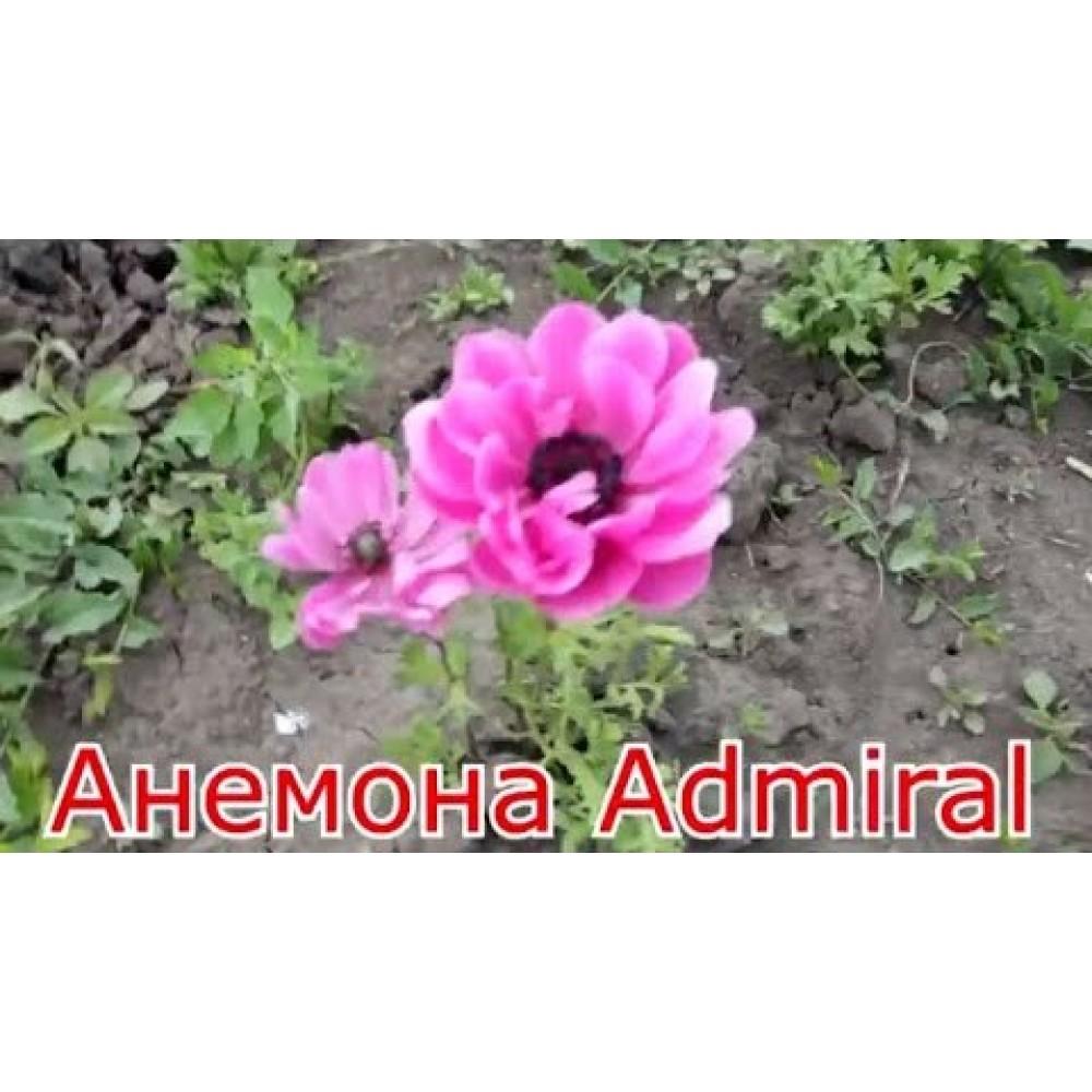 Анемона Admiral