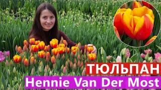 Тюльпан Hennie Van Der Most (Хенні ван дер Мост)