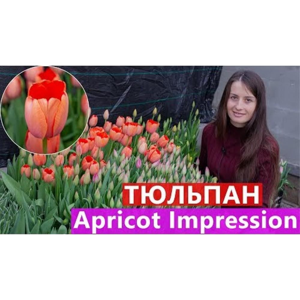 Тюльпан Apricot Impression