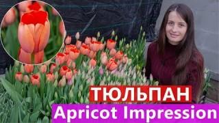 Тюльпан Apricot Impression (Апрікот Імпрешн)