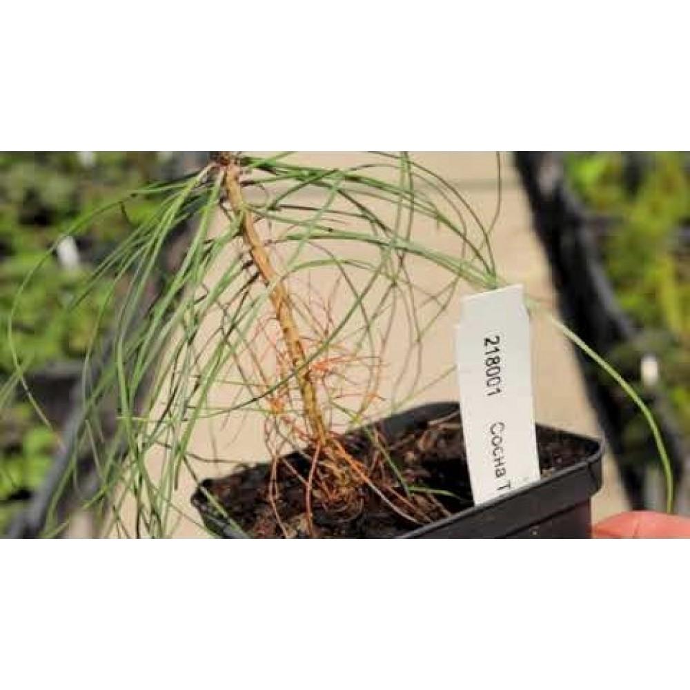Сосна китайская Tabuliformis (саженец)