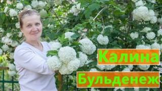 КАЛИНА БУЛЬДЕНЕЖ
