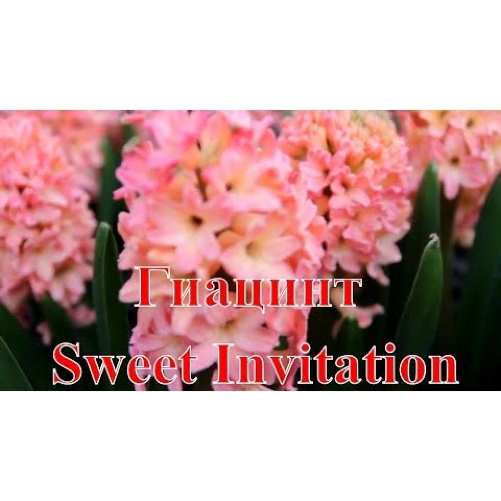 Гіацинт Sweet Invitation в горщику