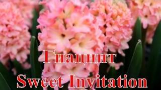 Гиацинт Sweet Invitation