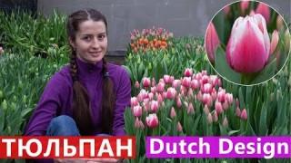 Тюльпан Dutch Design (Датч Дизайн)