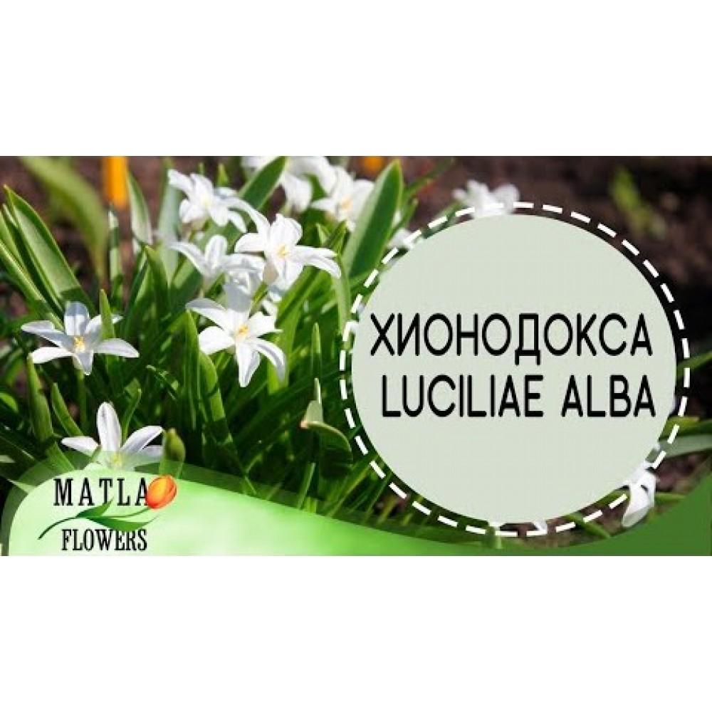 Хионодокса Luciliae Alba