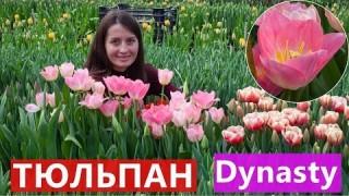 Тюльпан Dynasty (Династія)
