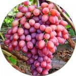 Виноград (14)