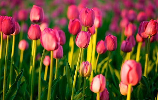 купити тюльпани фото